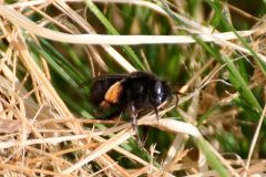 Anthophora plumipes - Hairy-footed Flower Bee, Brockadale