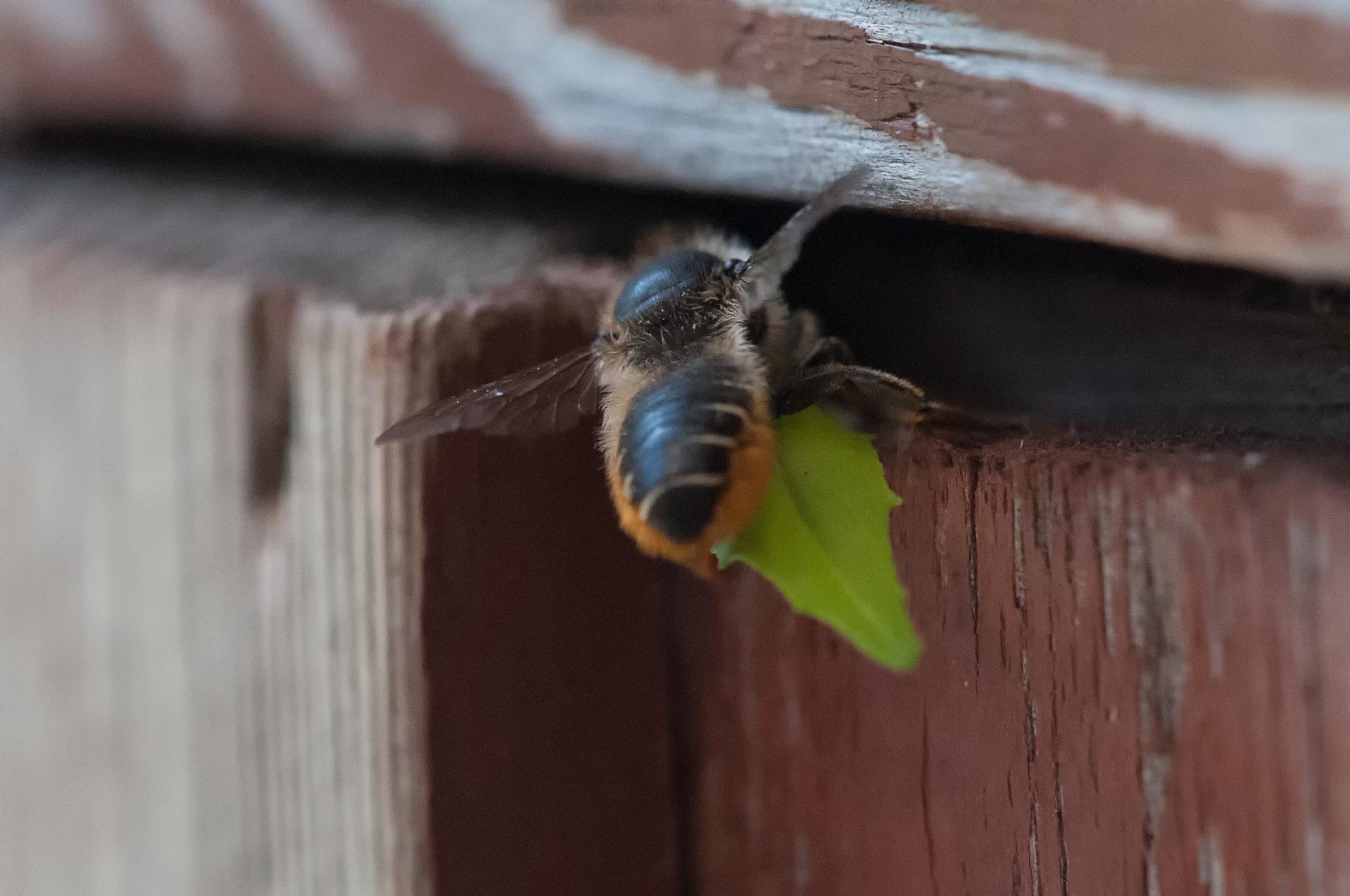 Megachile centuncularis, - Patchwork Leaf-cutter Bee