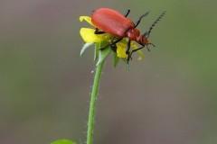 Pyrochroa serraticornis - Red-headed Cardinal Beetle,  Bishop Wood, Yorks.