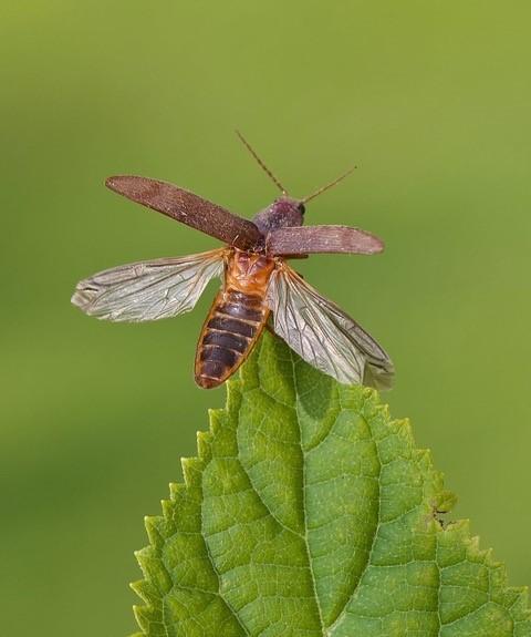 Stenagostus rhombeus, (taking flight), Woodside Nurseries, Austerfield.