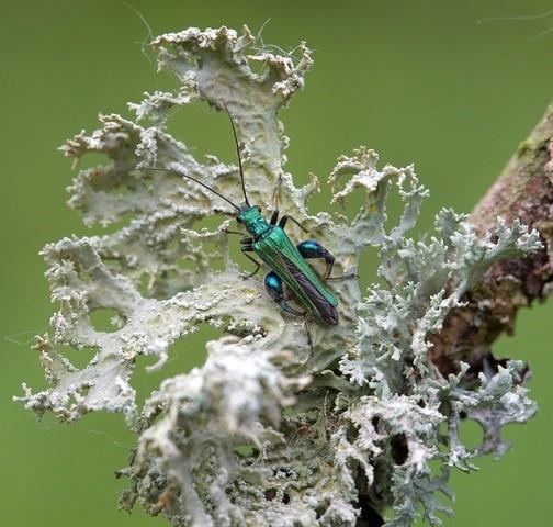 Oedemera nobilis, - Thick-legged Flower Beetle, Sherwood Forest, Notts.