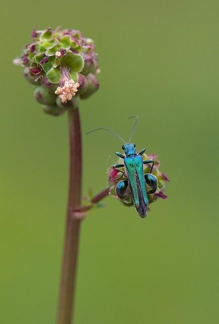 Oedemera nobilis, - Thick-legged Flower Beetle, Woodside Nurseries, Austerfield.