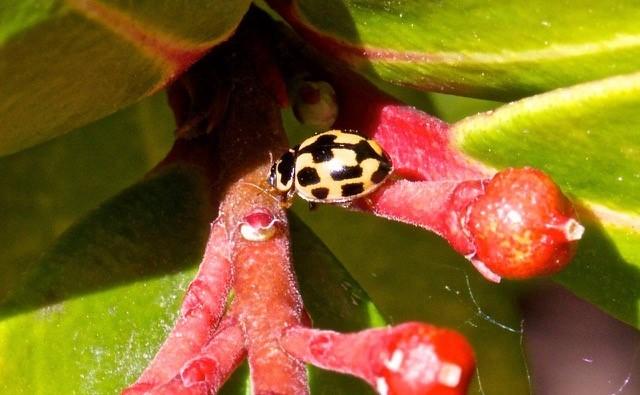 Propylea quattuordecimpunctata - 14 Spot Ladybird, Woodside Nurseries, Austerfield.