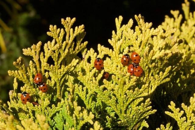 Coccinella septempunctata - 7 Spot Ladybird, Woodside Nurseries, Austerfield.