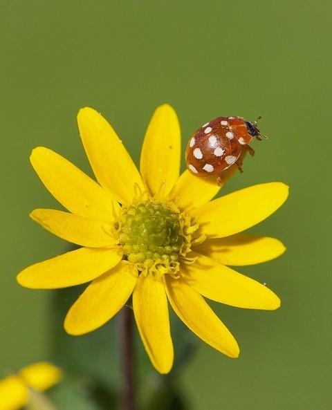 Calvia quattuordecimguttata - Cream Spot Ladybird, Woodside Nurseries, Austerfield.