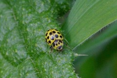 Psyllobora vigintiduopunctata, - 22 Spot Ladybird, Woodside Nurseries, Austerfield.