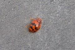 Subcoccinella vigintiquattuorpunctata - 24 Spot Ladybird, Woodside Nurseries, Austerfield.