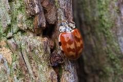 Harmonia quadripunctatan - Cream-streaked Ladybird, Sherwood Forest CP, Notts.