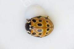 Anatis ocellata - Eyed Ladybird,  Woodside Nurseries, Austerfield.
