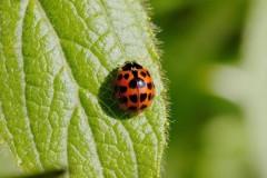 Harmonia axyridis - Harlequin Ladybird, Woodside Nurseries, Austerfield.
