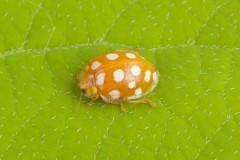 Halyzia sedecimguttata - Orange Ladybird, Woodside Nurseries, Austerfield.