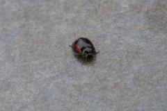 Exochomus quadripustulatus - Pine Ladybird, Woodside Nurseries, Austerfield.