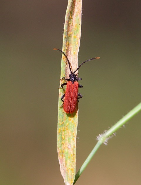 Platycis minutus, Sherwood Forest CP, Notts.