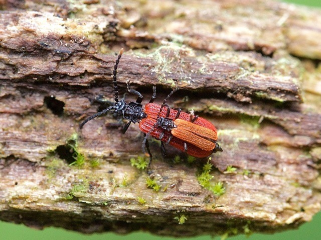Platycis minutus mating pair, Sherwood Forest CP. Notts.