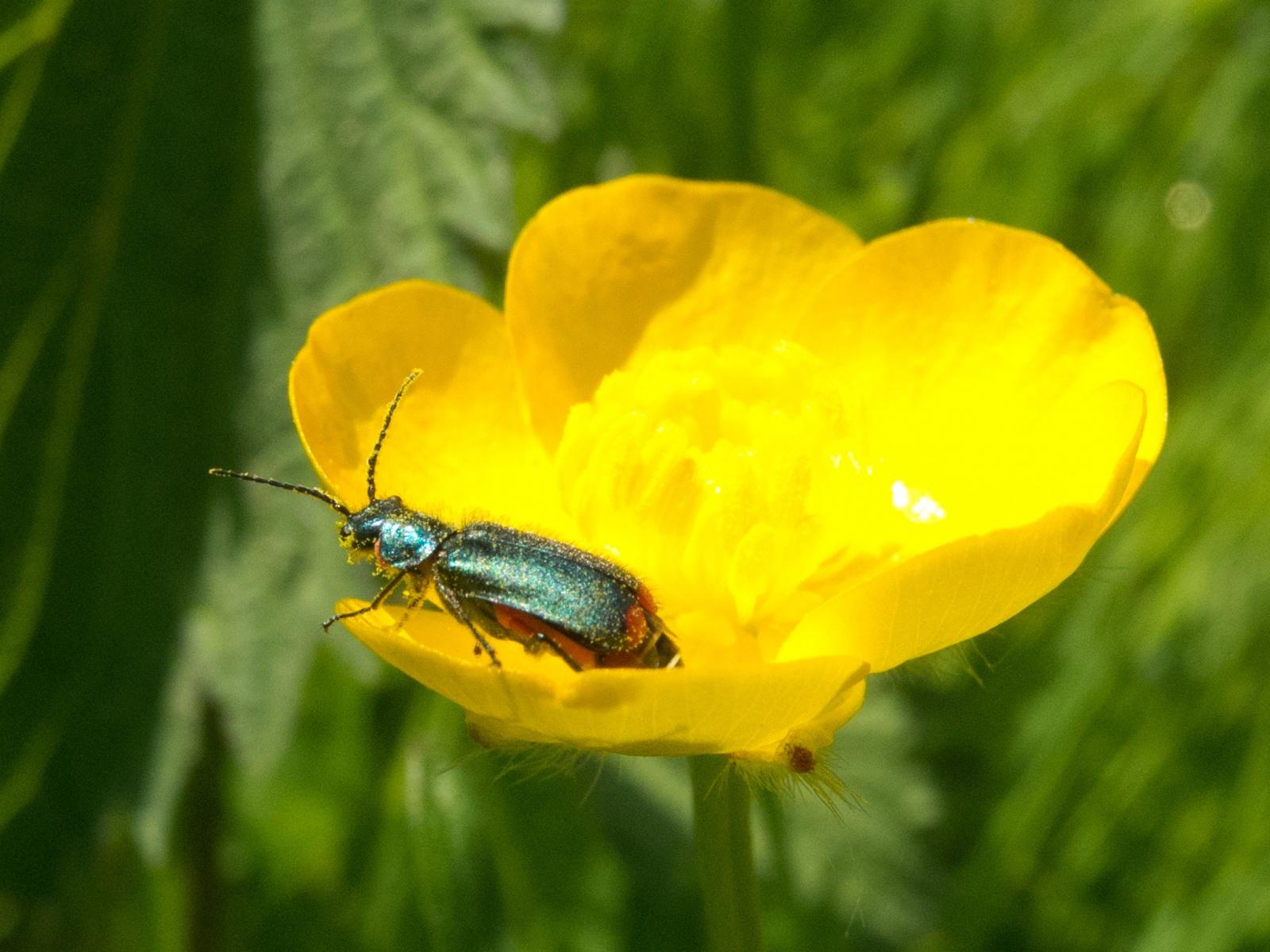 Malachius bipustulatus, Clumber Park