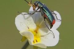 Malachius bipustulatus - Malachite Beetle, ( male showing sex pheromone lobes), Woodside Nurseries, Austerfield.