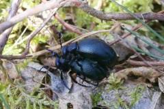 Meloe proscarabaeus, -  Black Oil Beetle, (mating pair), Sherwood Forest, Notts.