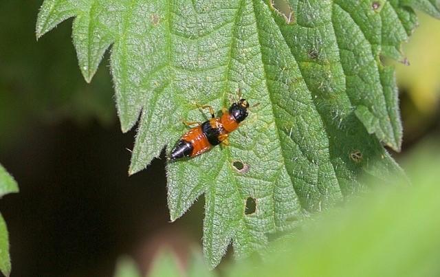 Oxyporus rufus, Woodside Nurseries, Austerfield.