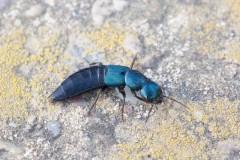 Ocypus ophthalmicus - Blue Rove Beetle, Woodside Nurseries, Austerfield.