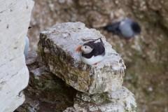 Puffin (Fratercula arctica), RSPB Bempton Cliffs