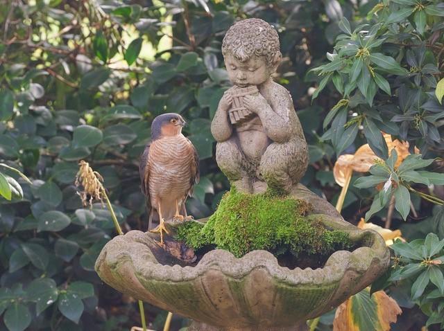 Sparrowhawk (Accipiter nisus), Woodside Nurseries, Austerfield.