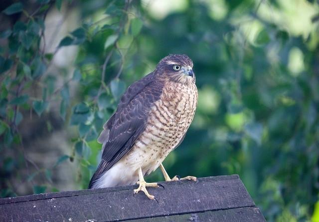 Sparrowhawk (Accipiter nisus),  female, Woodside Nurseries, Austerfield.