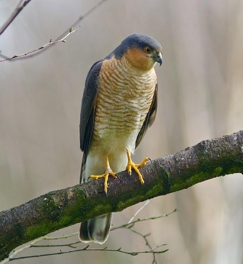 Sparrowhawk (Accipiter nisus),  male, Woodside Nurseries, Austerfield.