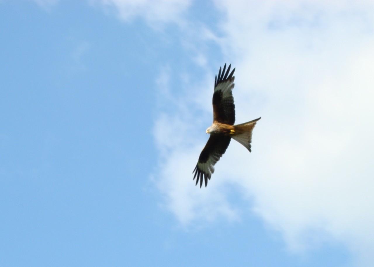 Red Kite (Milvus milvus), Wales.