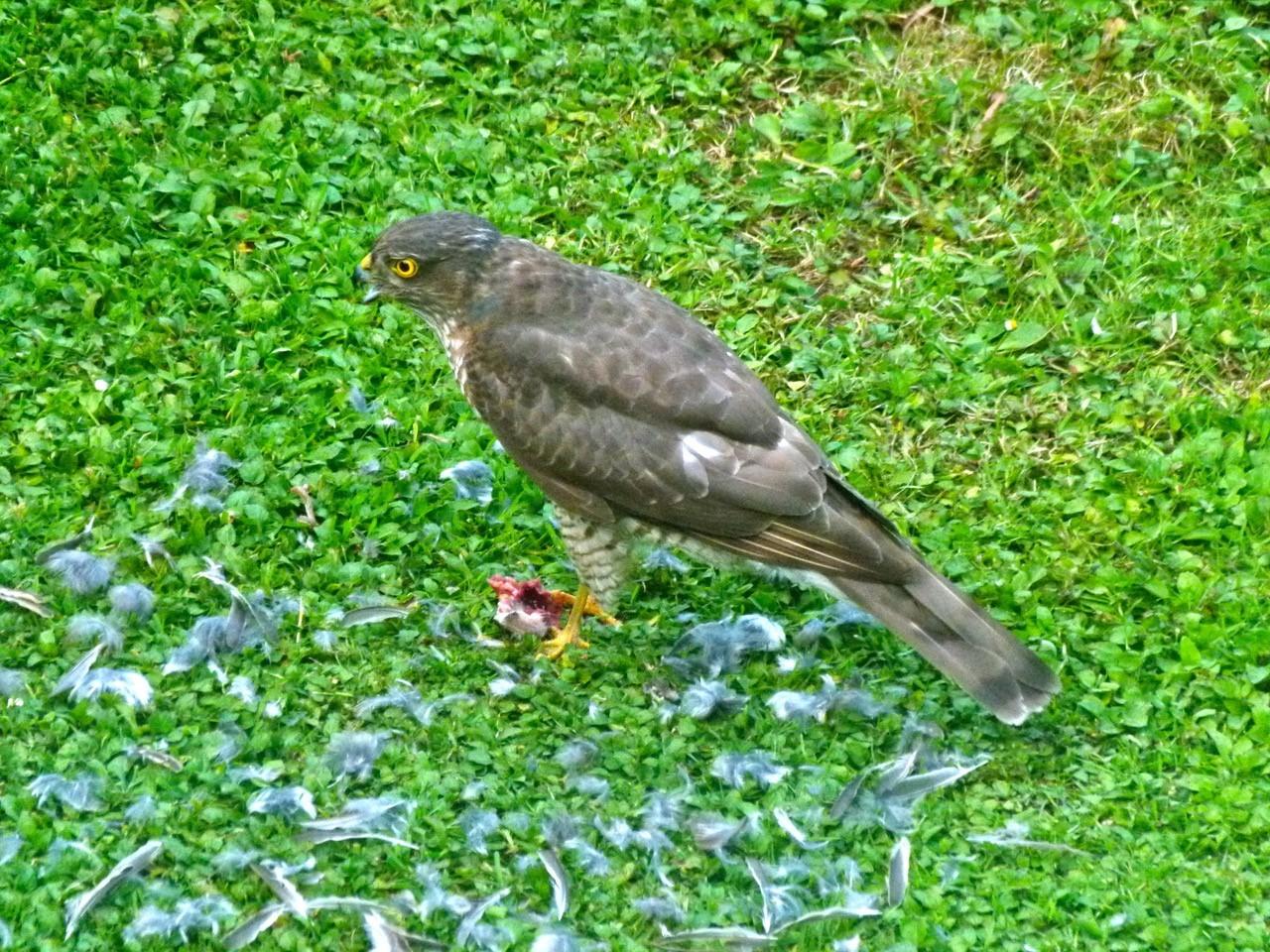Sparrowhawk (Accipiter nisus), Intake, Doncaster.