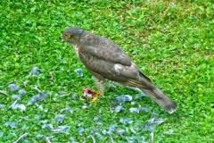 Sparrowhawk (Accipiter nisus), Intake, Doncaster.