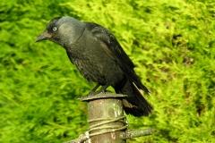 Jackdaw (Corvus monedula), Dinnington