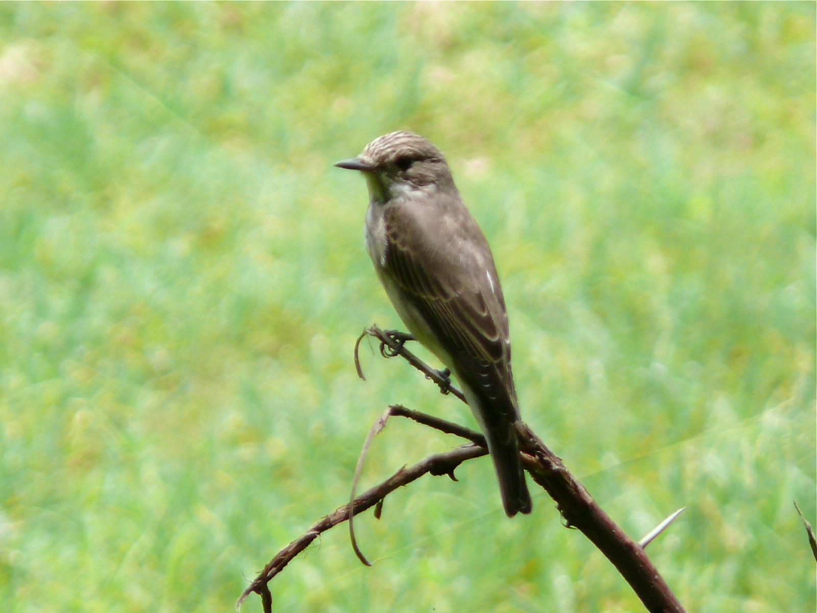 Spotted Fflycatcher (Muscicapa striata)