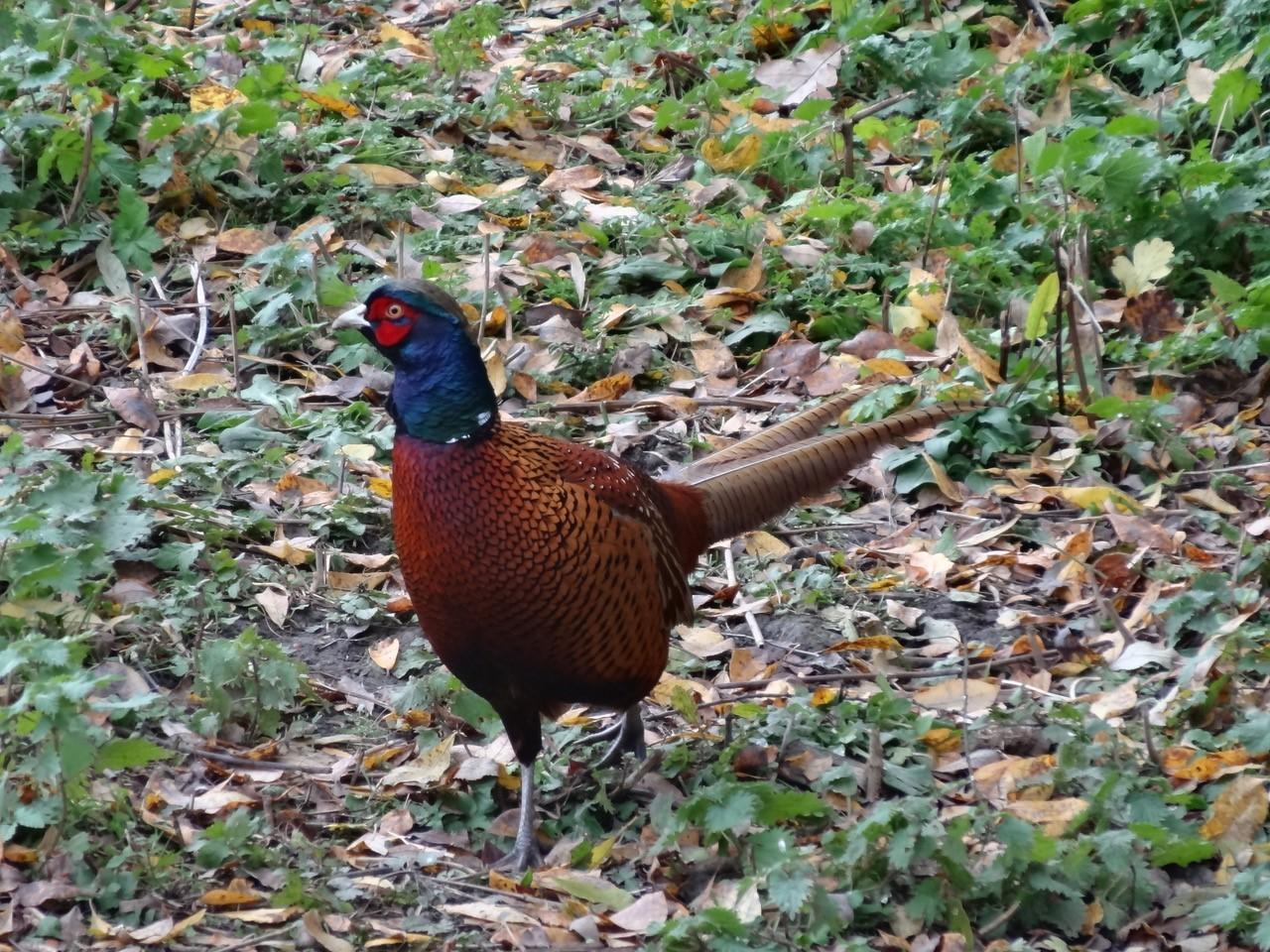 Pheasant (Phasianus colchicus), Potteric Carr.