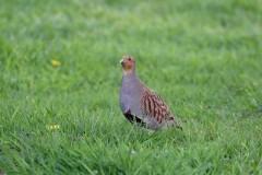 Grey Partridge (,Perdix perdix), Woodside Nurseries, Austerfield.