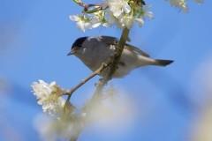 Blackcap (Sylvia atricapilla), Austerfield.