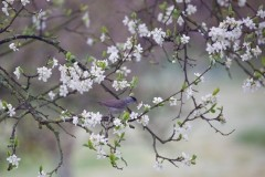 Blackcap (Sylvia atricapilla), feeding on plum blossom, Austerfield.
