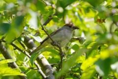 Blackcap (Sylvia atricapilla), female, Austerfield.