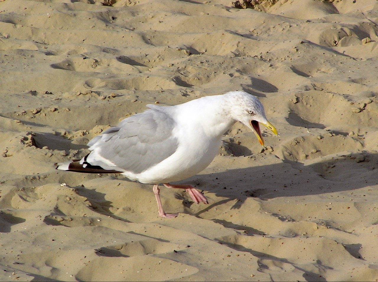 Herring Gull (Larus agentatus), Scarborough.