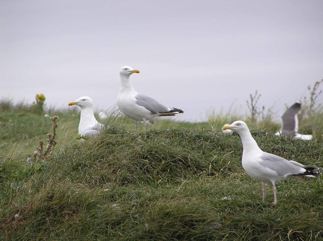 Herring Gull (Larus agentatus), Walney Island.