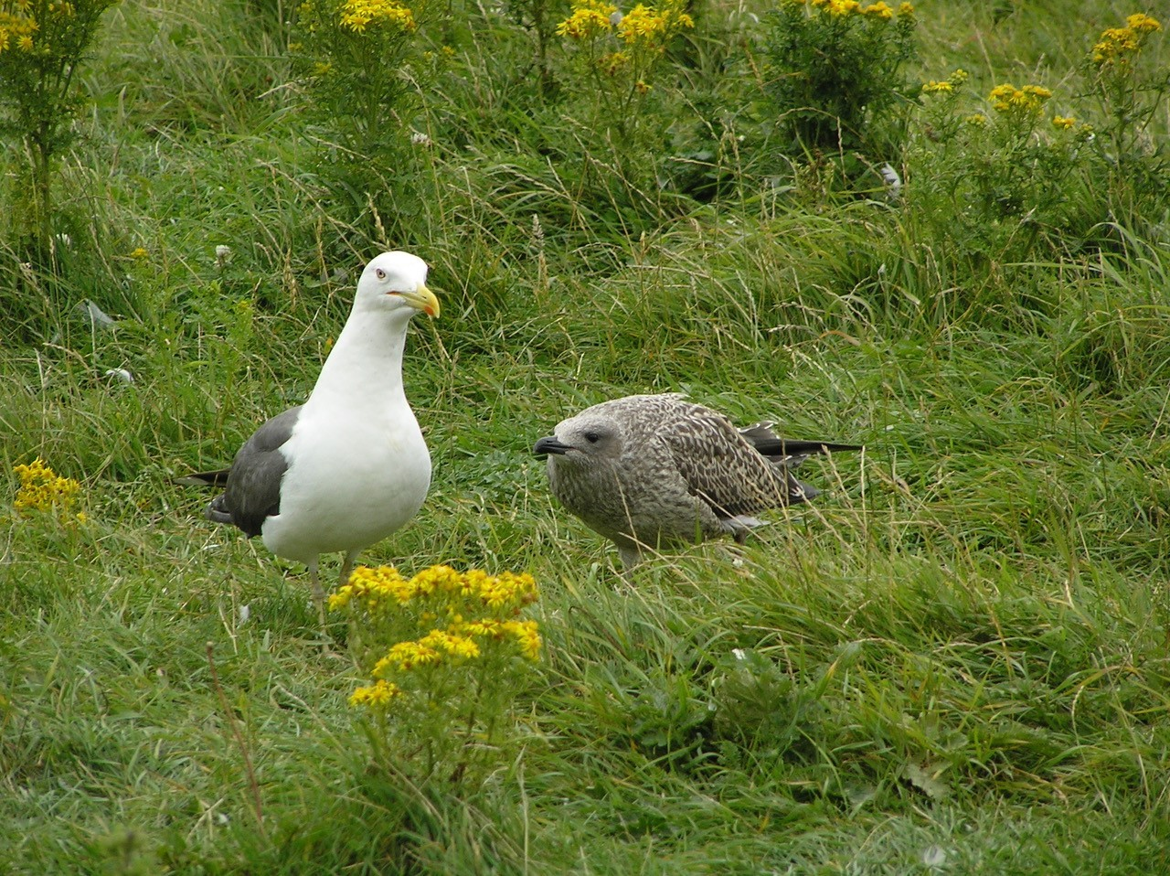Lesser Black-backed Gull (Larus fuscus), Walney Island.