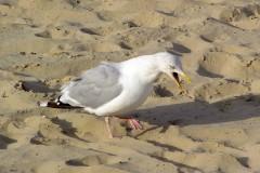 Herring Gull (Larus agentatus), Scarborough.