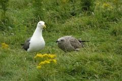 Lesser Black-backed Gull (Larus fuscus), Walney Island.