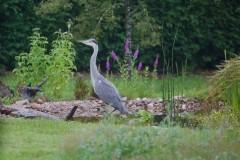 Grey Heron (Ardea cinerea,), Austerfield.