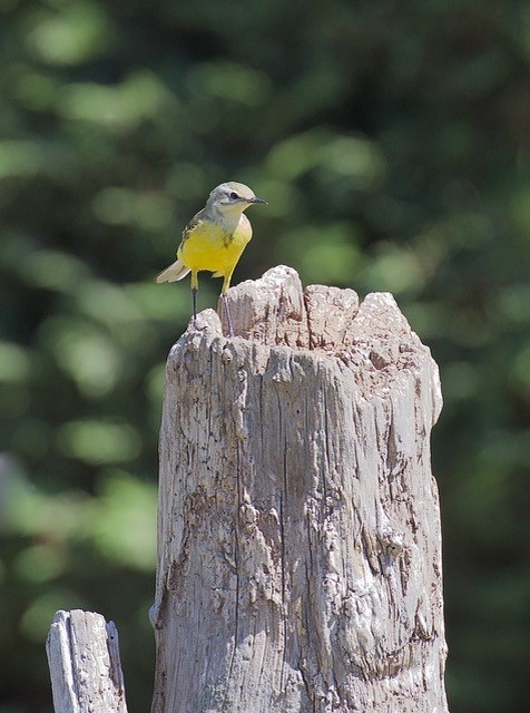 Grey Wagtail (Motacilla cinerea), Woodside Nurseries, Austerfield.