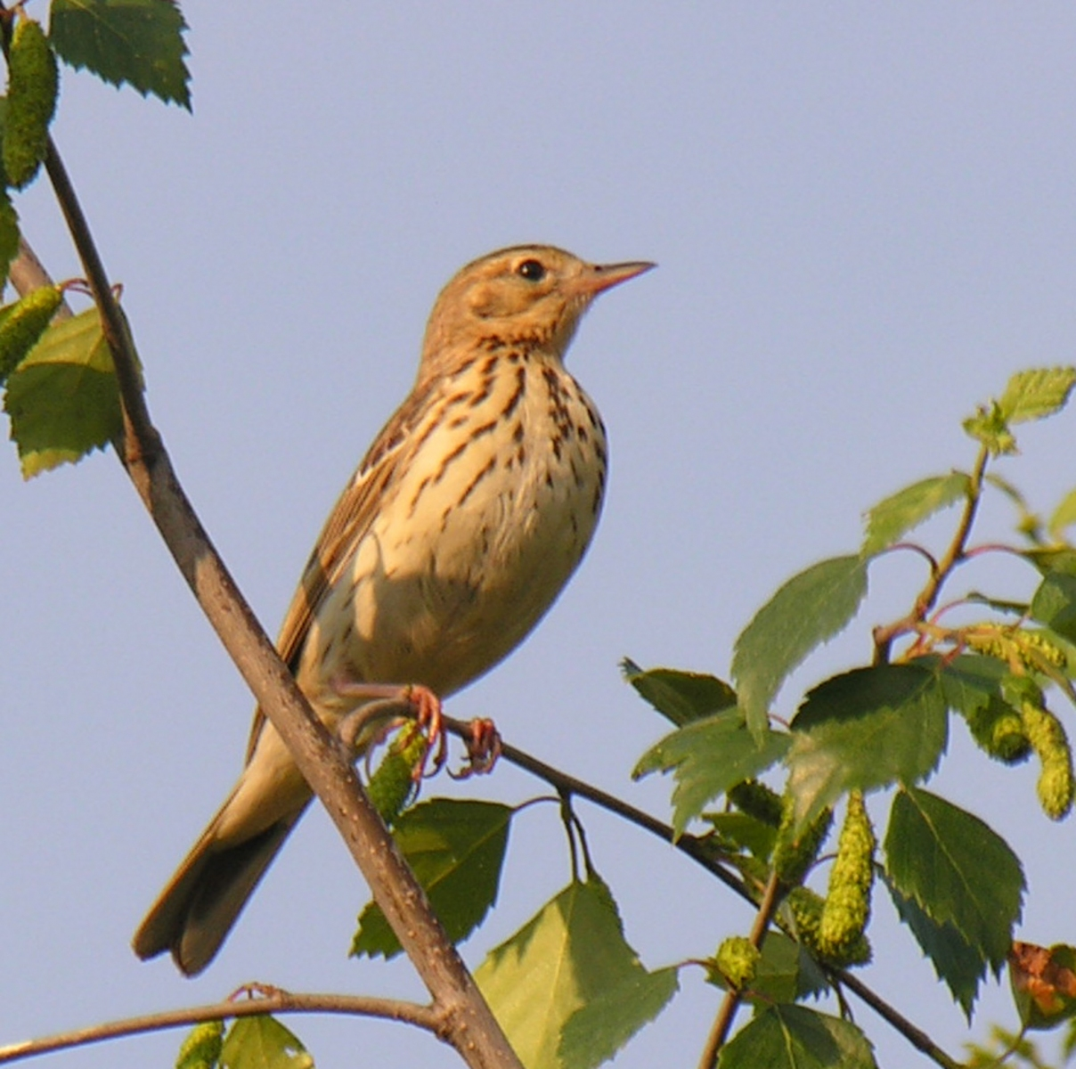 Tree Pipit (Anthus trivialis), Clumber Park.