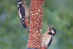 Great Spotted Woodpecker (Dendrocopos major) ,Woodside Nurseries, Austerfield.
