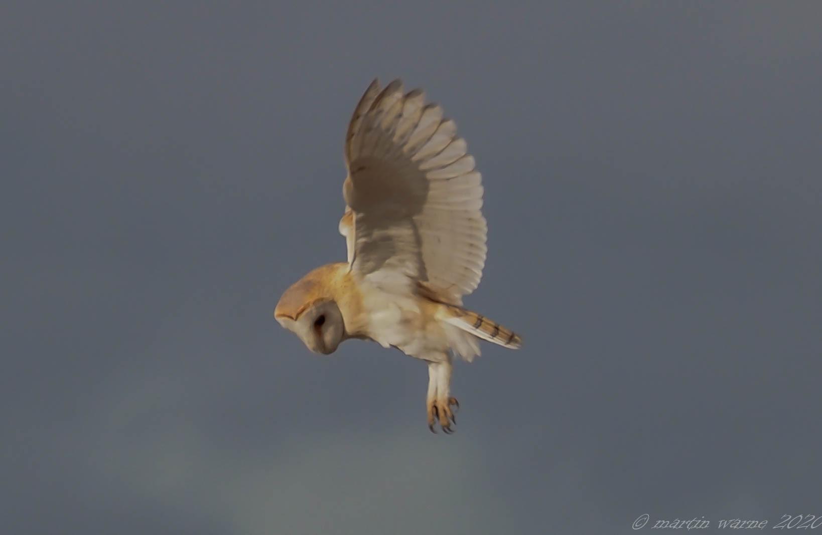 Barn Owl (Tyto alba), Thorne Moor.