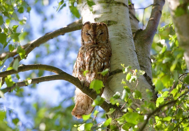 Tawny Owl ( Strix aluco,), Woodside Nurseries, Austerfield.