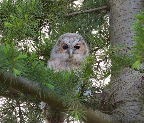 Tawny Owl ( Strix aluco,), juvenile, Austerfield.