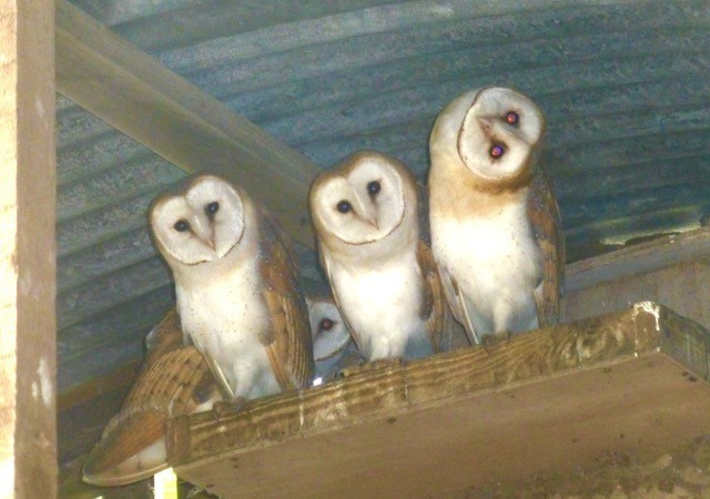 Barn Owls (Tyto alba), (fledgelings,), Austerfield.